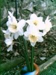 First daffodils taken