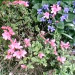 Azalea and violets