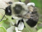 Bumblebee on bladder campion