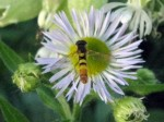 Syrphid fly on daisy fleabane.