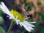 Possibly a fly on daisy fleabane