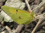 A sulphur(?) butterfly