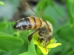 Honeybee in yellow sorrel