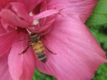 Honeybee in Rose of Sharon