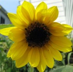 The first volunteer sunflower is open.