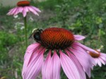 Coneflowers (with bumble butt)