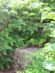 Mystery grape vines
