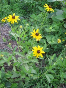 Black-eye Susan plant