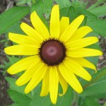 Native sunflower - NOT