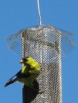 Goldfinch on nyjer feeder