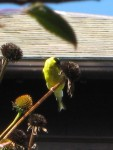 Goldfinch on coneflower seedhead