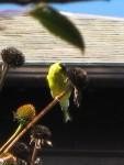 Goldfinch on coneflower seedhead
