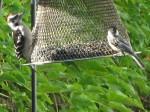 Woodpecker and chickadee