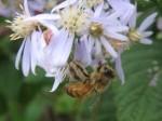 Honeybee on aster