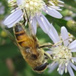 Is that a honeybee?