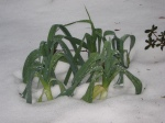 Leeks enjoying the melting snow
