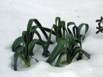 Leeks emerging from the snow