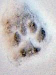 Catprint in snow