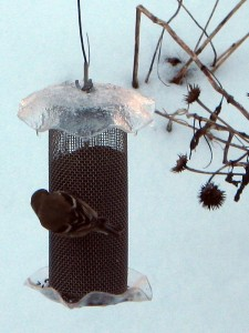 Goldfinch in winter plumage