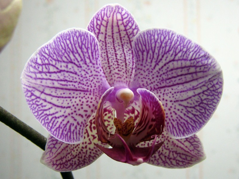 Orchid fully open