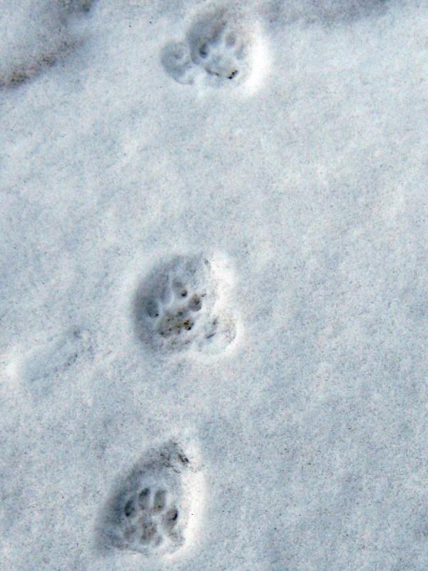 Cat prints in snow