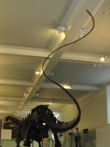 Apatosaur's long tail is long