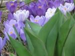 Purple crocus behind tulip leaves