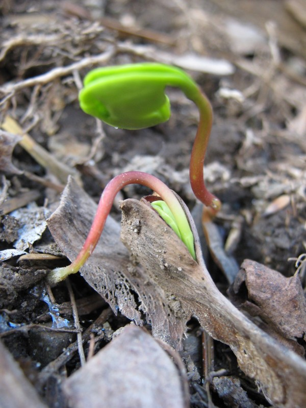 Maple sprouts