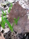 How leaves pierce leaves