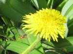 Common Wasp Bee approaching dandelion
