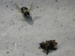 Carpenter bees in luv?