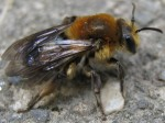 Early Miner Bee