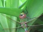 Bulls-eye mark on Green Darner's head