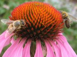 Honeybees on coneflower