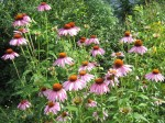 Masses of coneflowers
