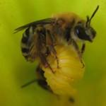 Squash bee inside squash blossom
