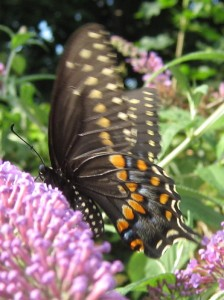 Black Swallowtail on Butterfly bush