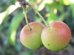 A pair of crabapples