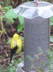 Goldfinch eating breakfast