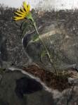 Sunflower on the rocks