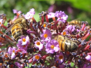 Honeybees dancing