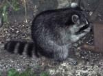 Hungry, hungry raccoon