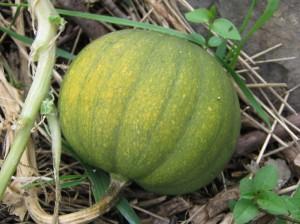 Half my squash crop