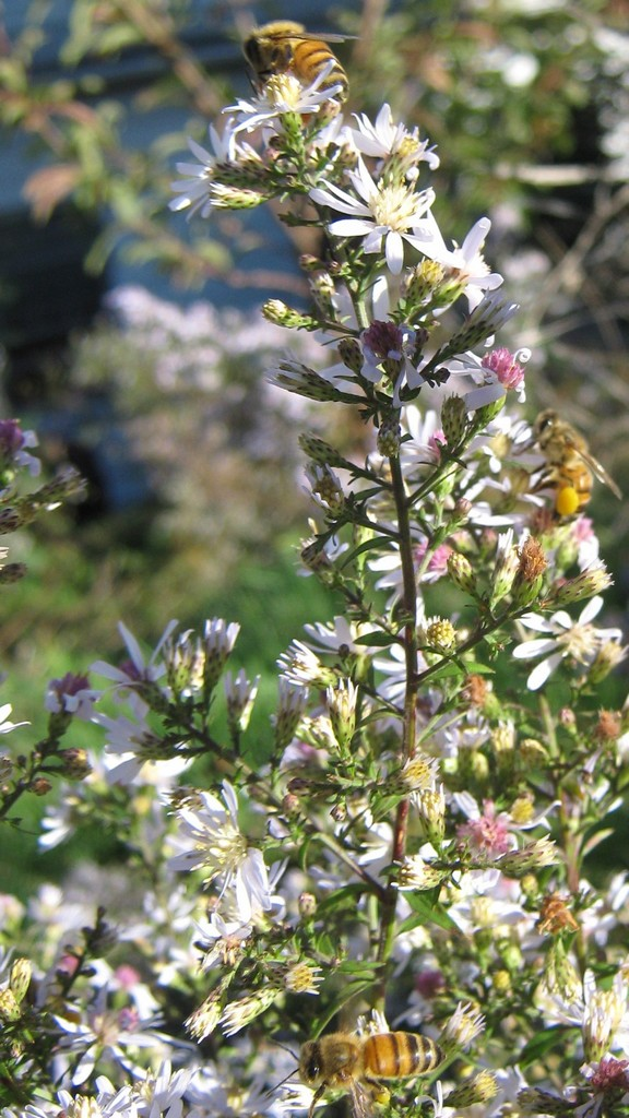Tower of bees on wild aster