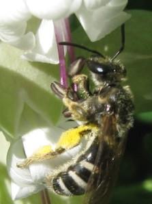 Lassioglossum inside a flower