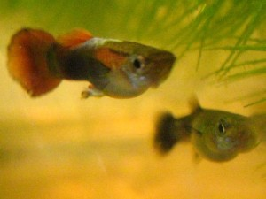 Blurry guppies