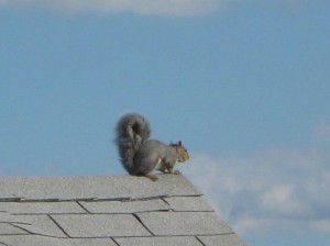 Squirrel fiddling on the roof