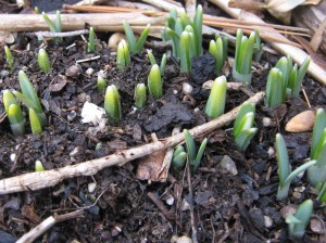 Many, many snowdrops sprouting
