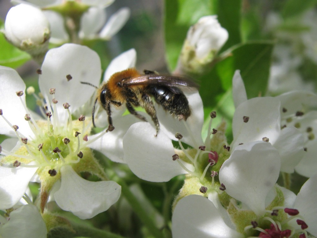 pear trees and the bees There is a lot of information known about fruit tree pollination from temperate climates the majority of pollinators of pear trees are honey bees.