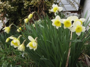 Daffodils shining in light rain
